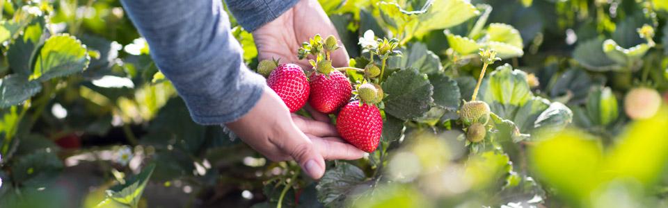 Main Street Produce Strawberry Field